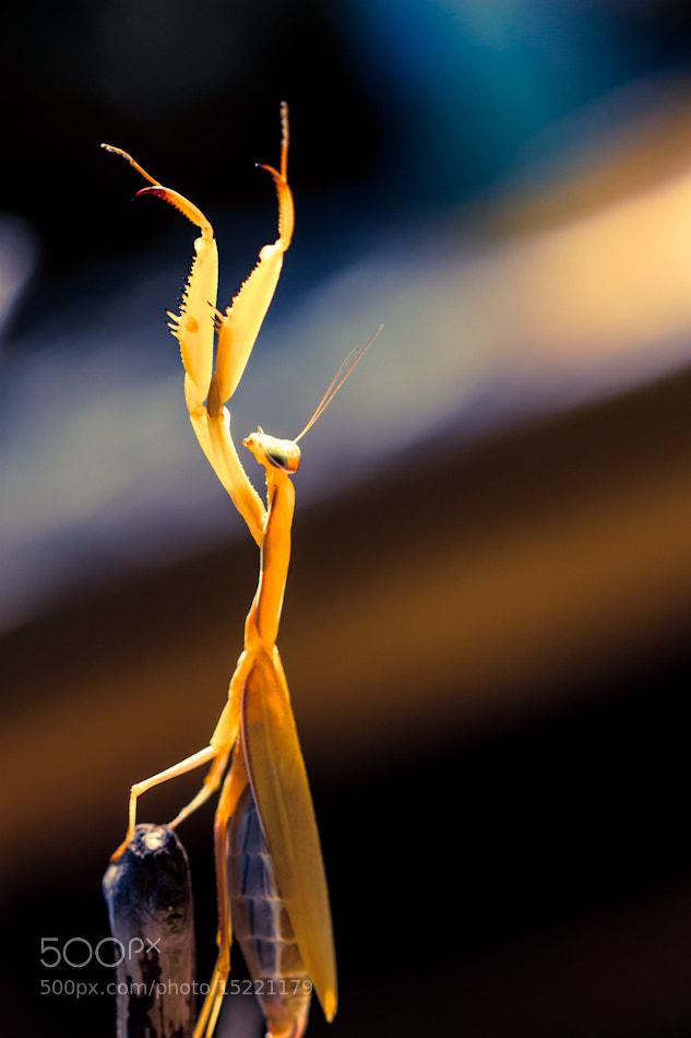 Photograph Praying Mantis by Anita Stargardt on 500px