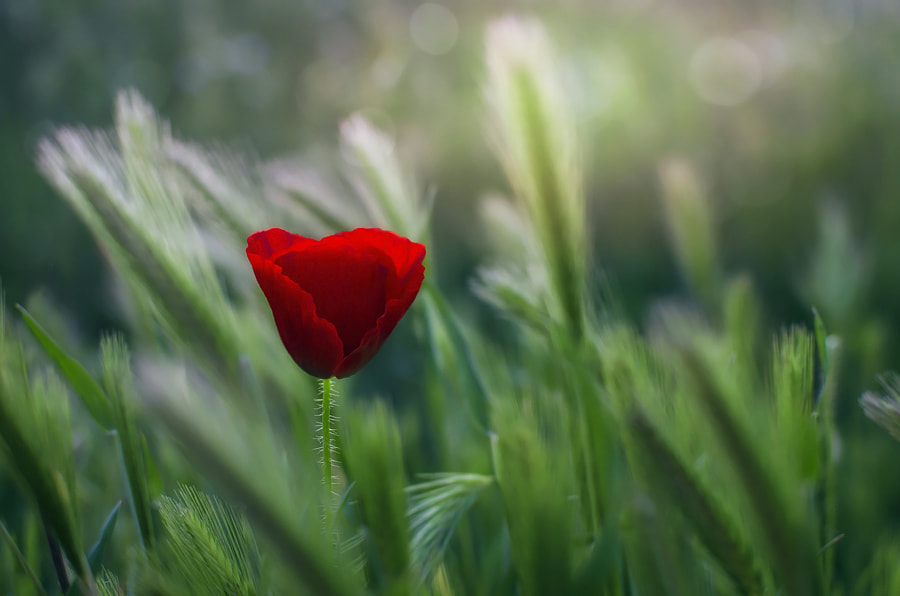 Red Passion by Alfon No