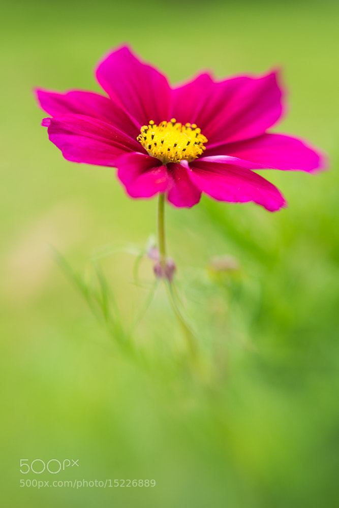 Photograph Cosmos summer by Penny Myles on 500px