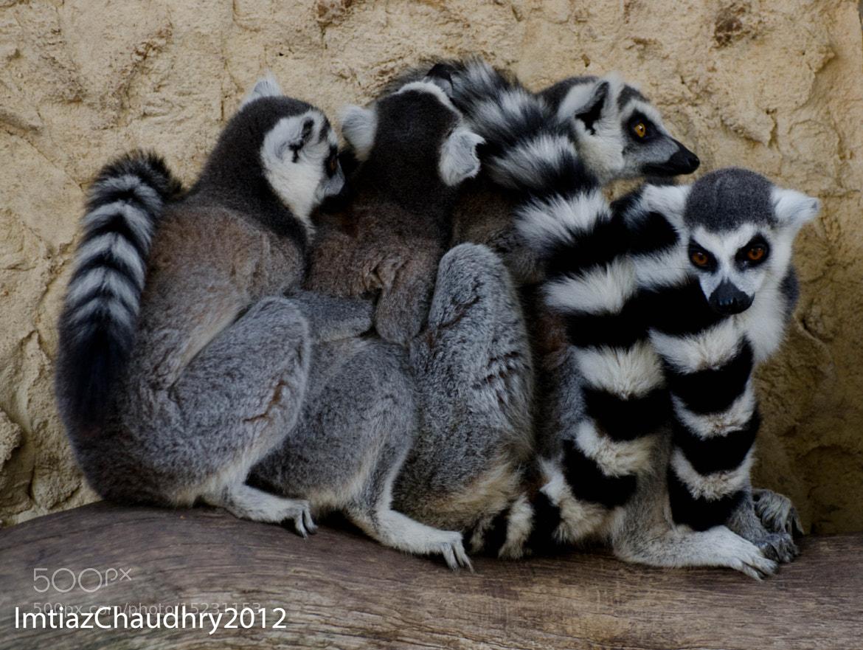 Photograph Lemur Train by Imtiaz Chaudhry on 500px