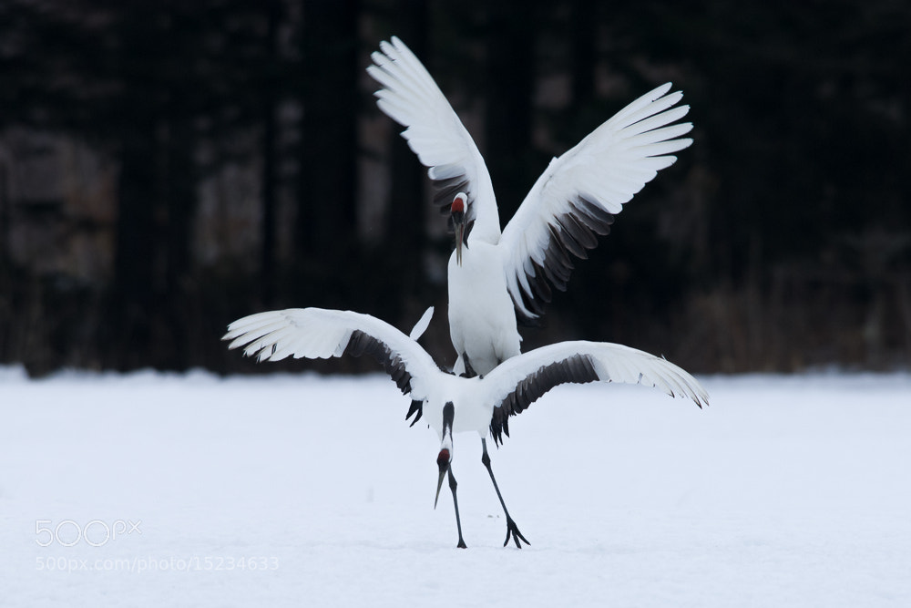 Photograph JapaneseCrane by Kazuo Shinohara on 500px