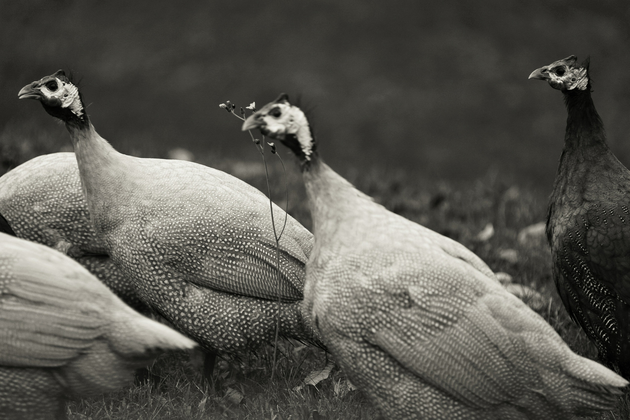 Photograph Guinea hens II by Paul Maillet on 500px