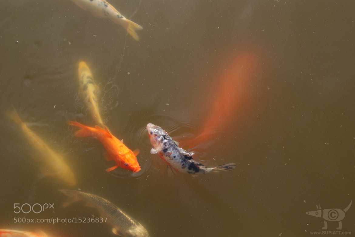 Photograph Passing Koi by su piatt on 500px