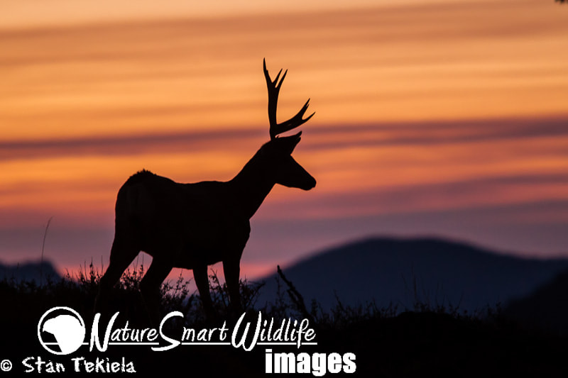 Photograph Mule Deer sunrise by Stan Tekiela on 500px