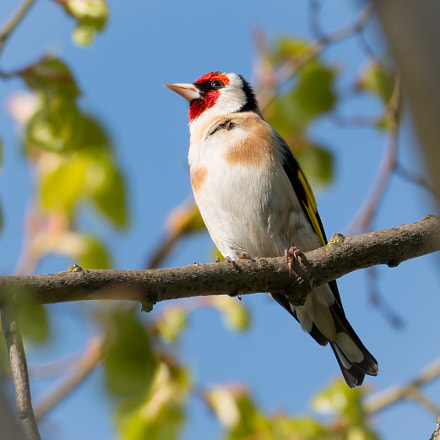 Goldfinch sitting on branch