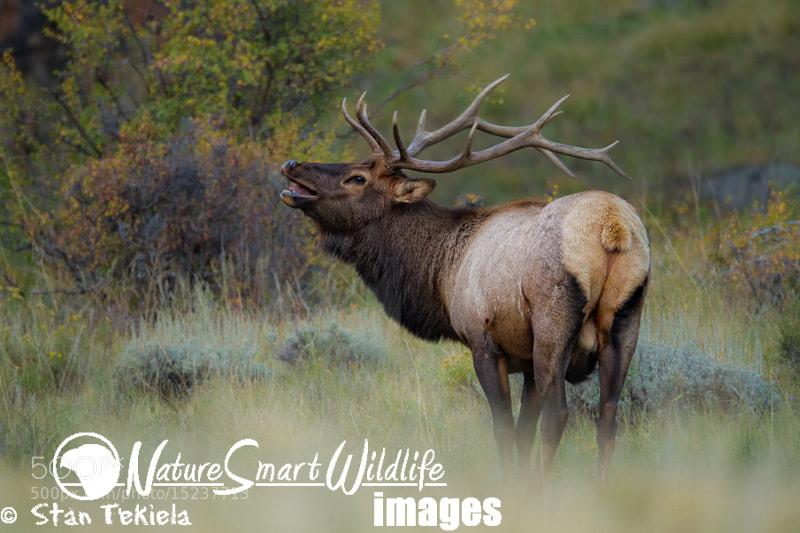 Photograph Bull Elk Bugle by Stan Tekiela on 500px