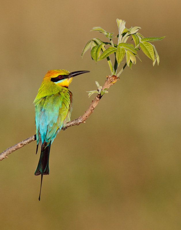 Photograph Rainbow Bee-eater portrait by Ofer Levy on 500px