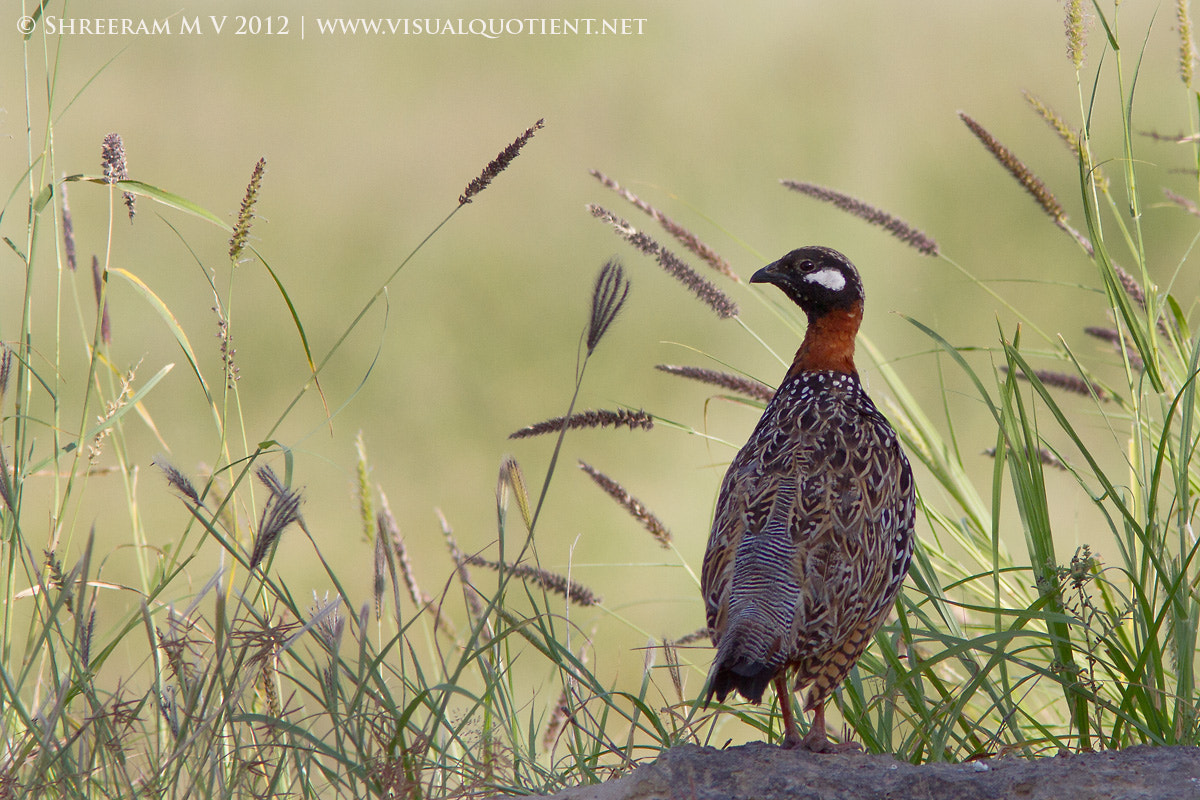 Photograph Black Francolin by Shreeram M V on 500px