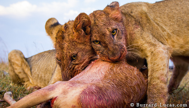 Photograph Cubs with Kill by Will Burrard-Lucas on 500px