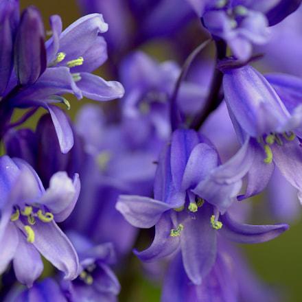 Garden Bluebells....