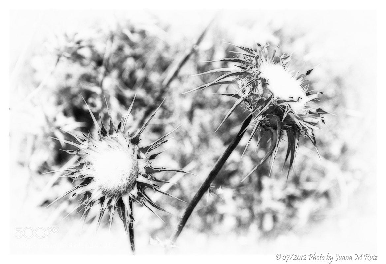 Photograph Dried flowers by Juana Maria Ruiz on 500px