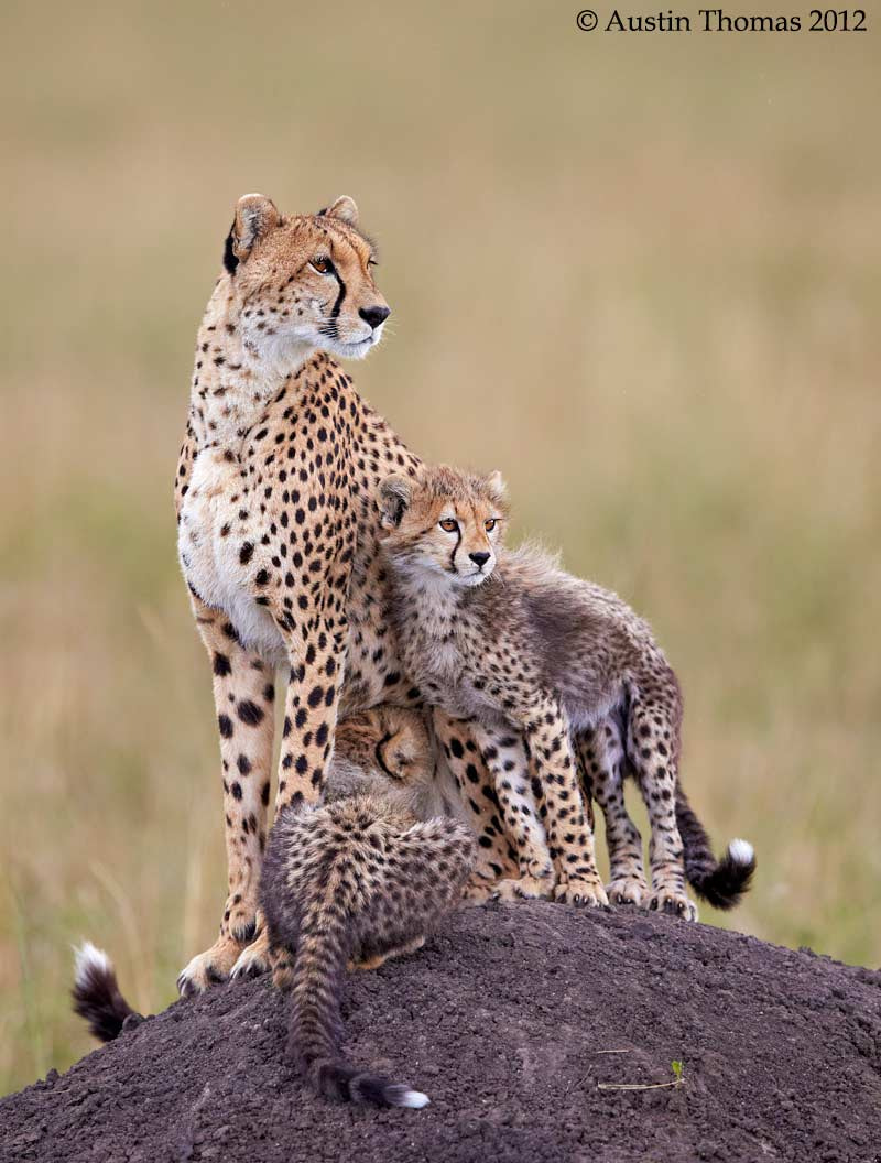 Photograph Cheetah mum and cubs... by Austin Thomas on 500px