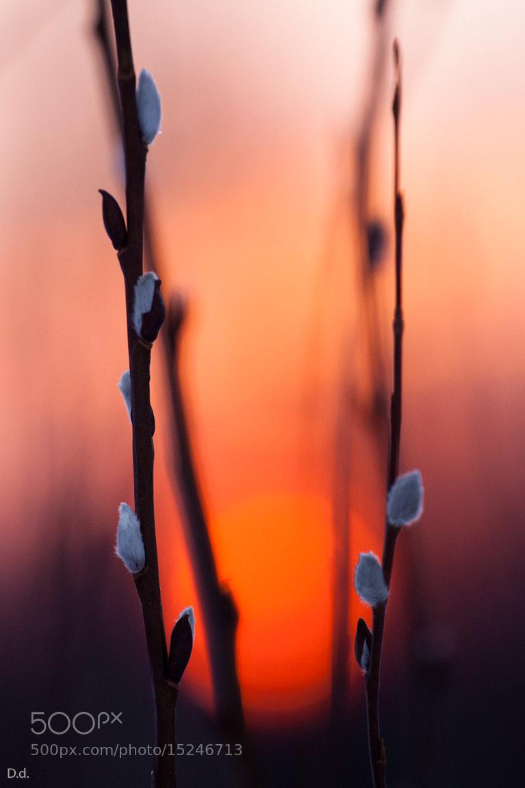 Photograph Willow-catkins by Davis Drazdovskis on 500px