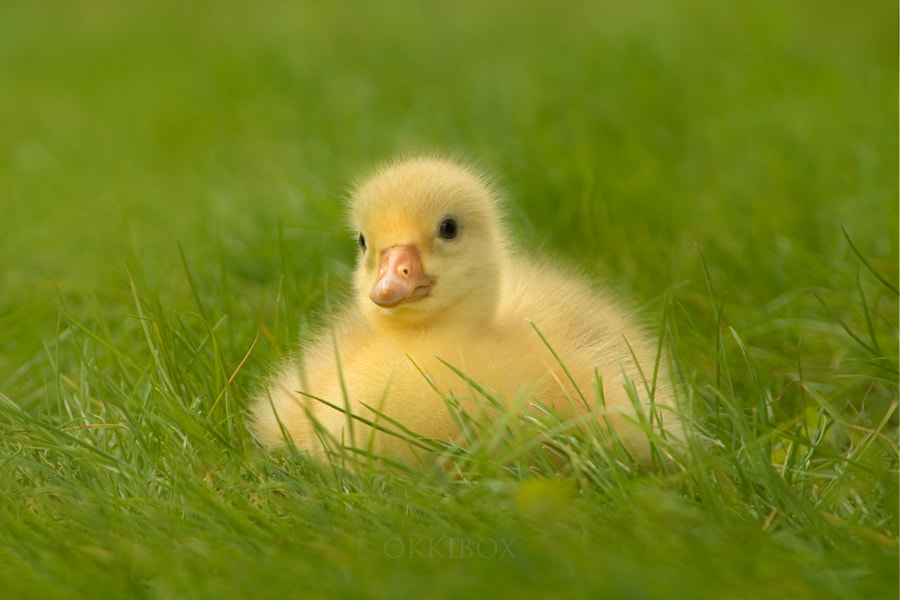 Photograph Baby Goose by Maria Jo okkibox on 500px