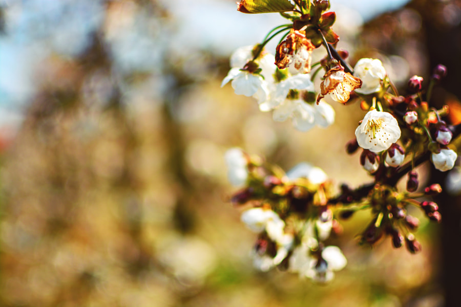 Blossom by Bart Rogiers on 500px.com