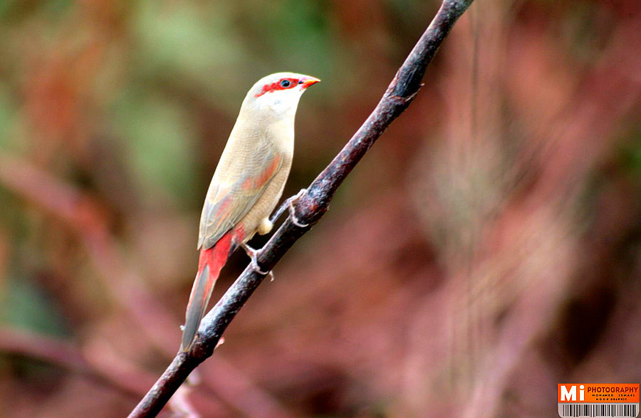 Photograph crimson-rumped waxbill by Mohamed Ismael on 500px