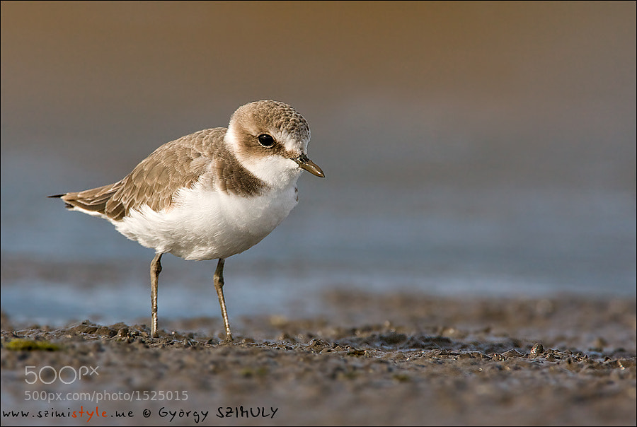 Photograph Kentish Plover (Charadrius alexandrinus) by György Szimuly on 500px