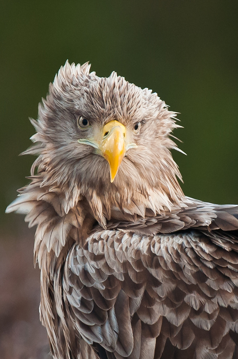 Photograph White-tailed Eagle  II by Geir Magne  Sætre on 500px