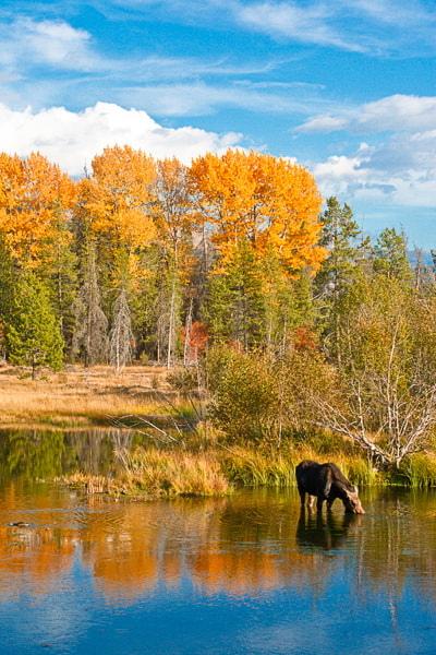 Photograph Teton Moose by Jack Booth on 500px