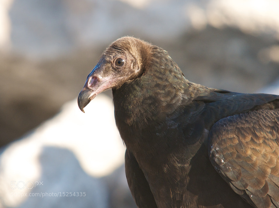 Photograph Vulture Portrait by Mike Fuhr on 500px