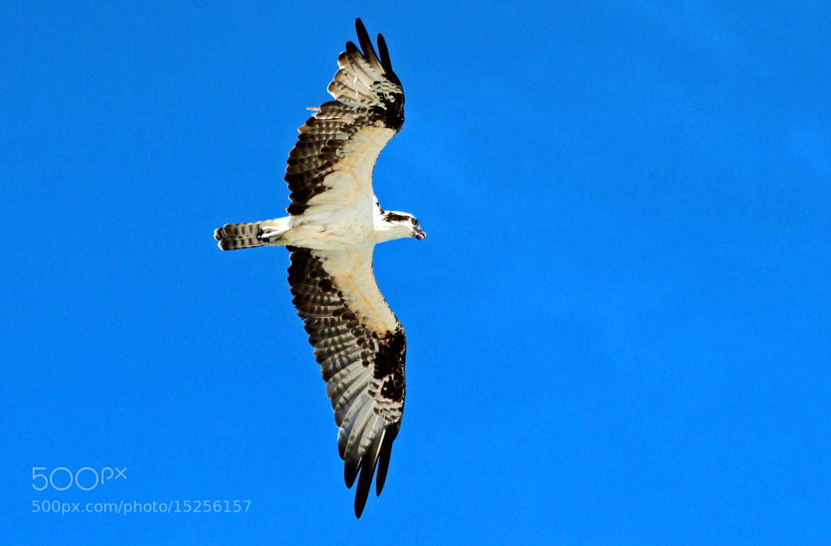 Photograph OSPREY BY THE SEA II by robin ulery on 500px