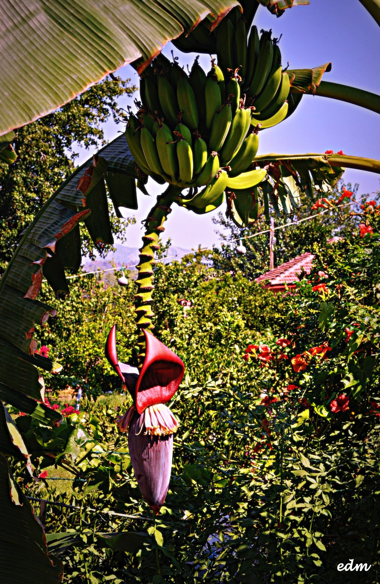 Photograph Bananas by Ermanno Albano on 500px