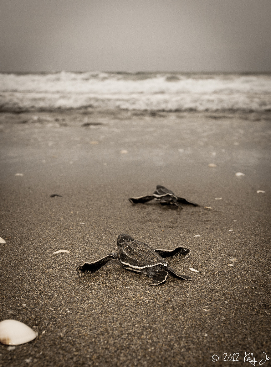 Photograph Leatherback hatchlings by Kelly Martin on 500px
