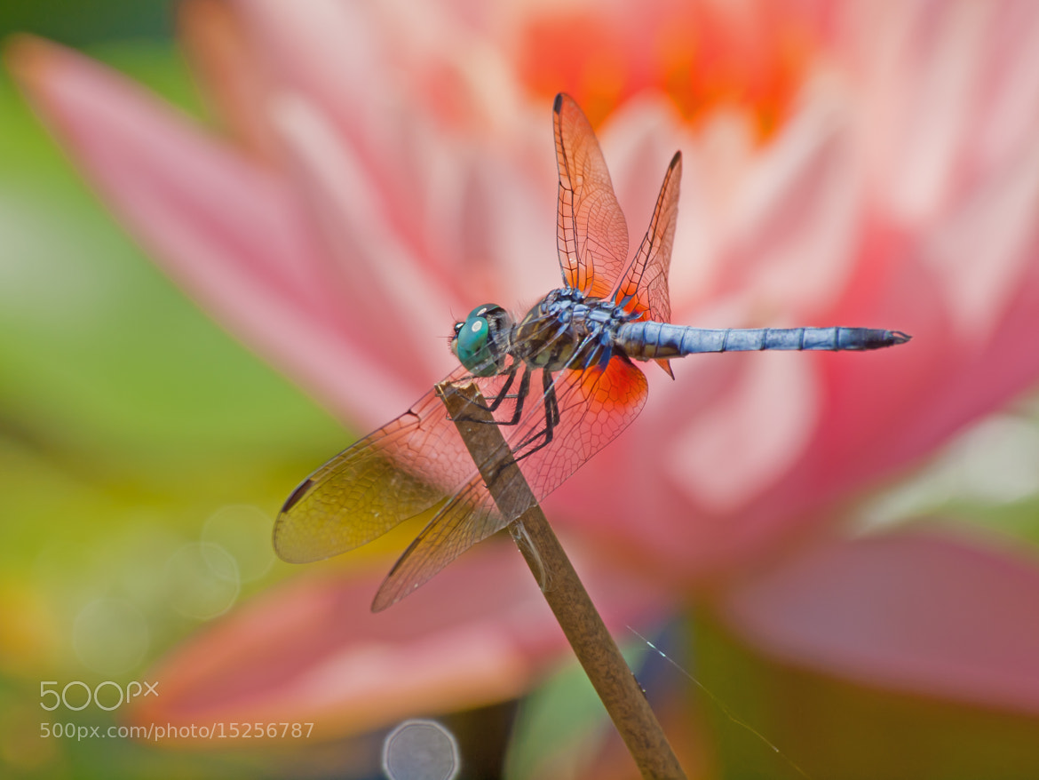 Photograph Blue Dasher and Water Lily by Jacqui Trump on 500px
