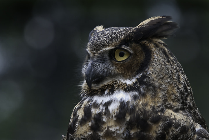 Photograph Great Horned Owl by Leisa Hennessy on 500px