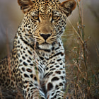 """Makepisi is a male leopard who inhabits the Timbavati region of Kruger Park in South Africa.  On an afternoon/evening game drive on our first day here, we were luky enough to find him resting on a termite mound a mere 10 metres from our vehicle.  I also shot <a href=""""http://www.youtube.com/watch?v=LFKQRIIrw1U"""">video footage</a> of Makepisi."""