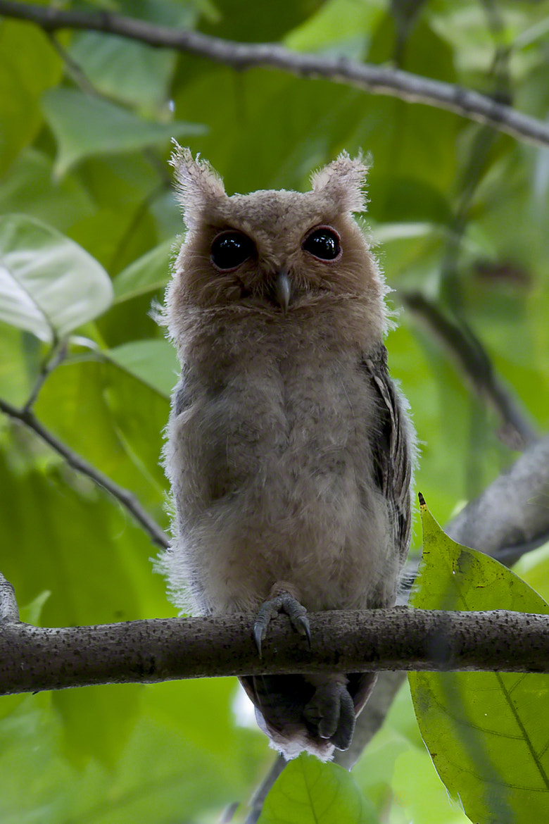 Photograph Collard Scops Owl chick by Allan Seah on 500px