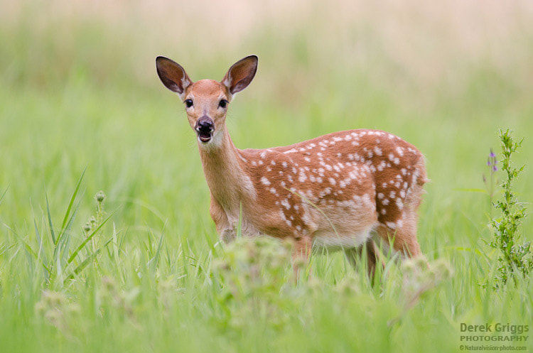 Photograph Fawn Morning by Derek Griggs on 500px