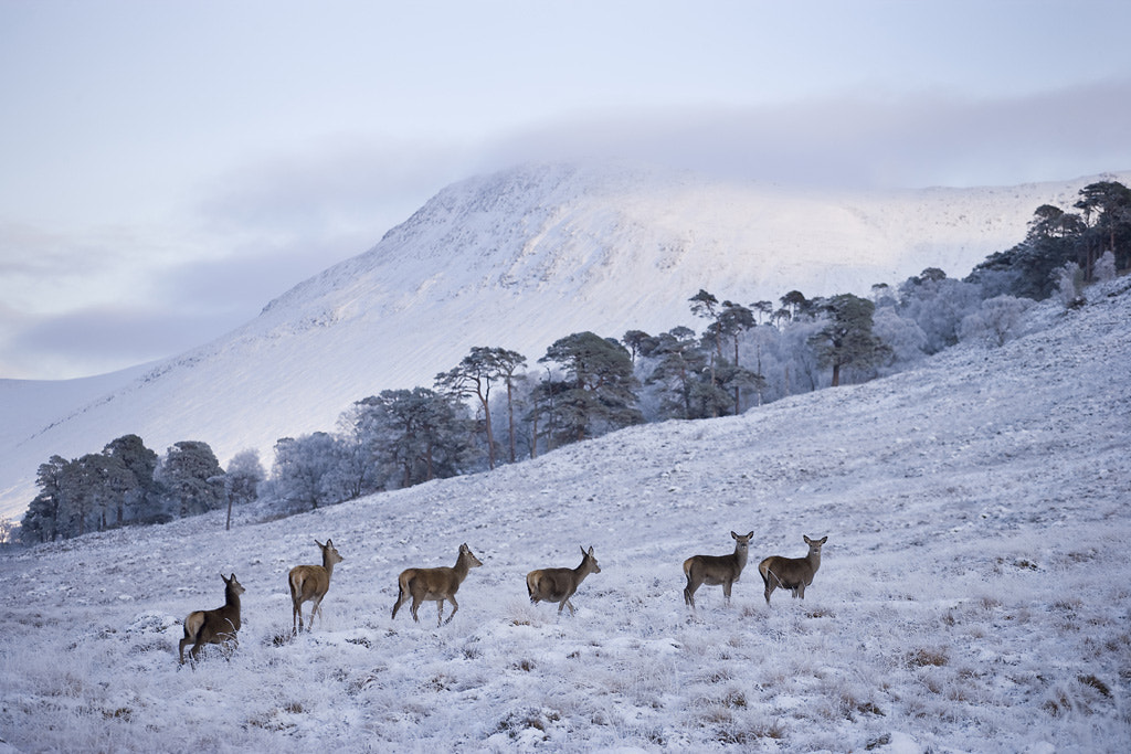 Photograph Red deer hinds near Bridge of Orchy by Mark Hamblin on 500px