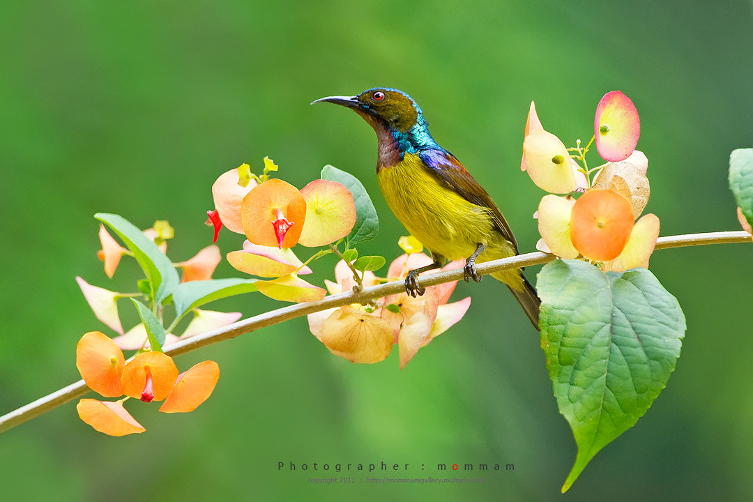 Photograph Brown-throated by mommam 777 on 500px
