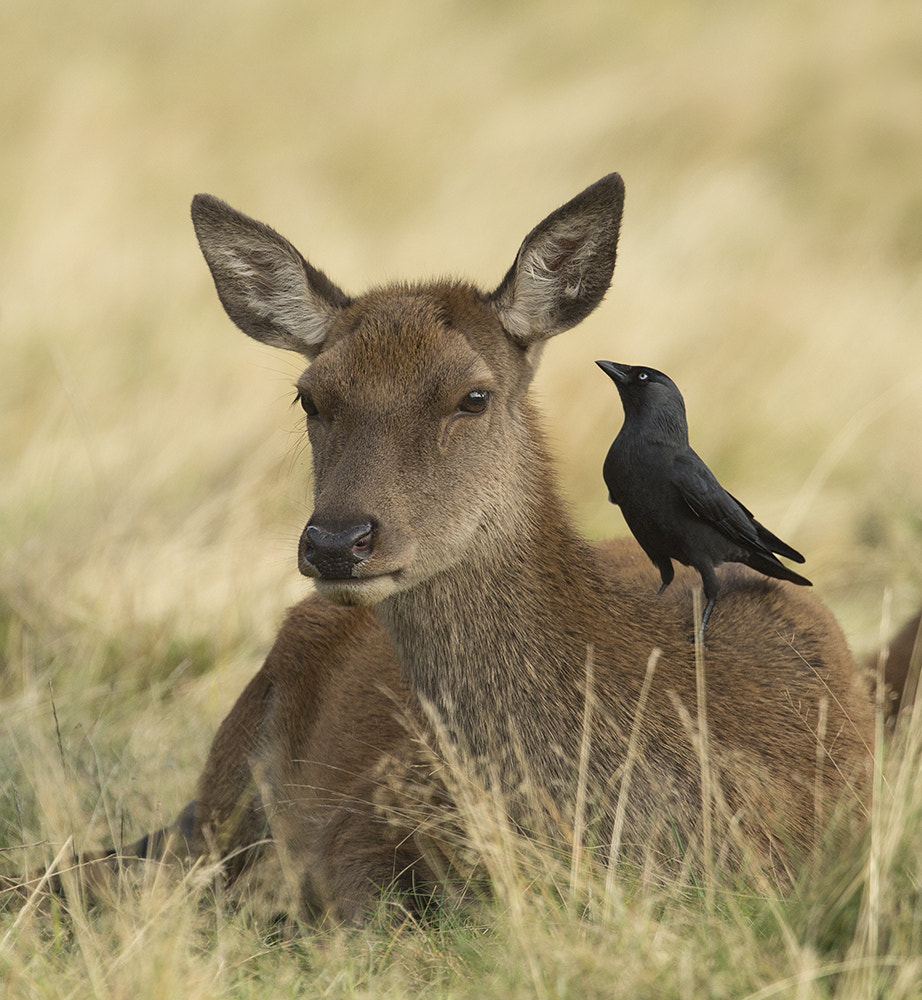Photograph Hind & Jackdaw by Richard Bond on 500px