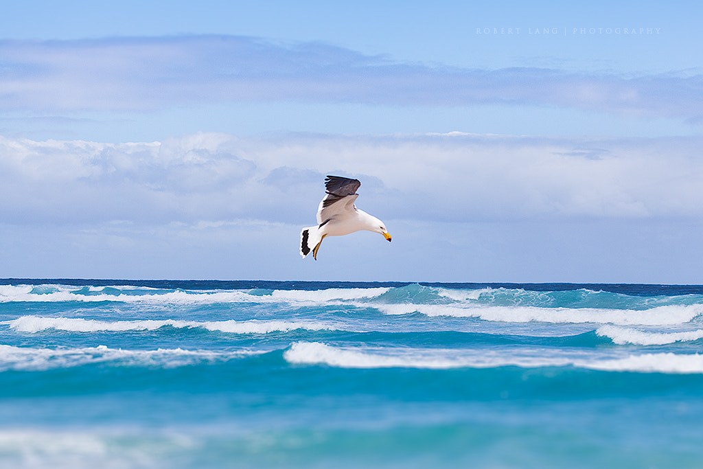 Photograph Seagull and ocean, South Australia by Robert Lang on 500px