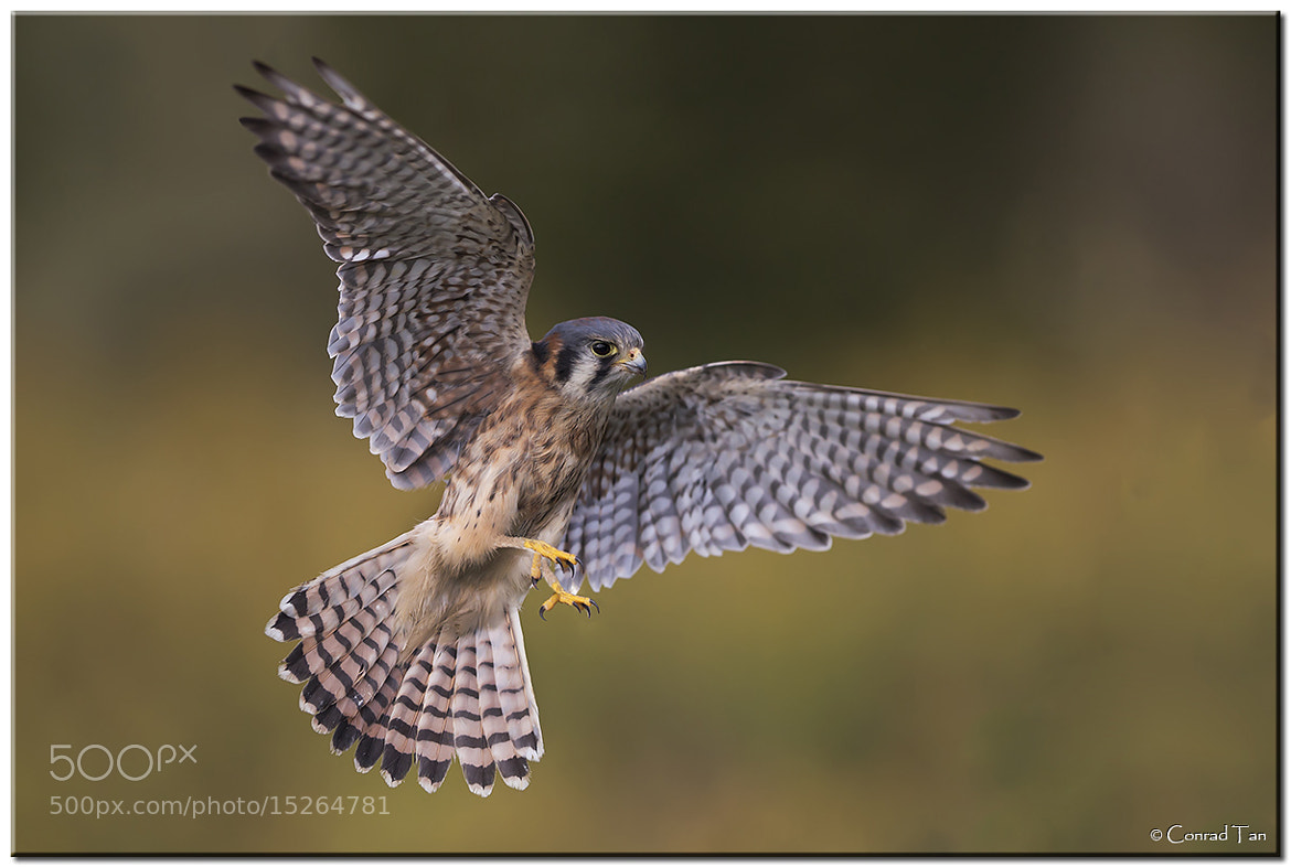 Photograph American Kestrel by Conrad Tan on 500px