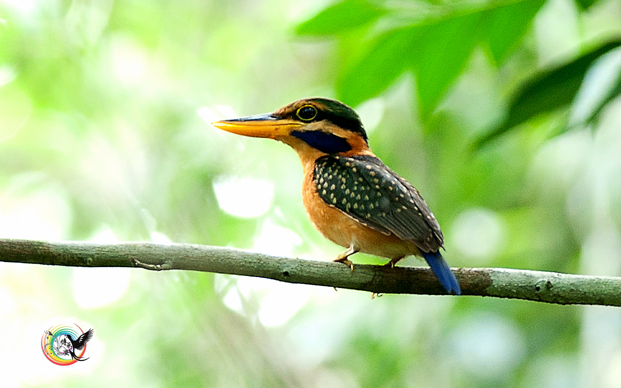 Photograph Rufous Collared Kingfisher by Andy Fu on 500px