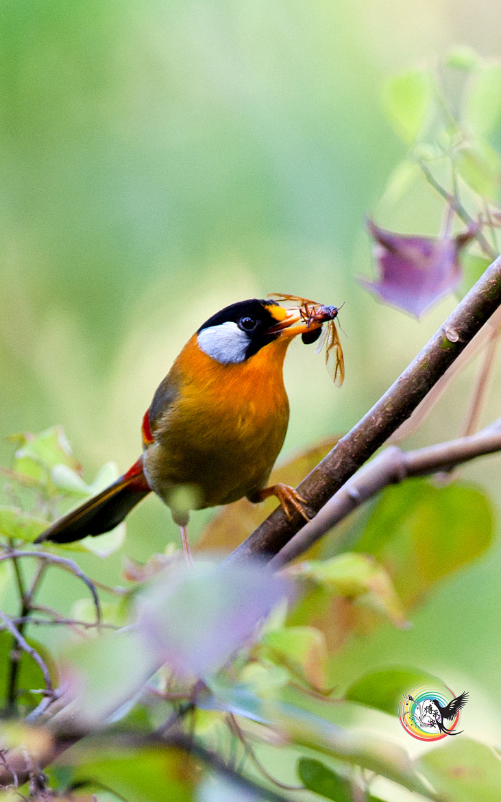 Photograph Silver-Eared Mesia by Andy Fu on 500px