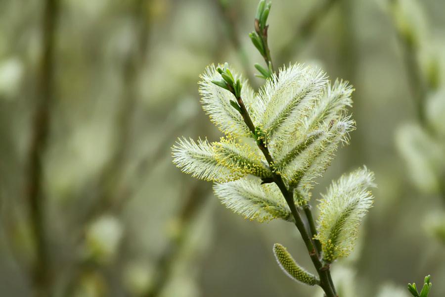 Flowering White Willow, автор — Nick Patrin на 500px.com