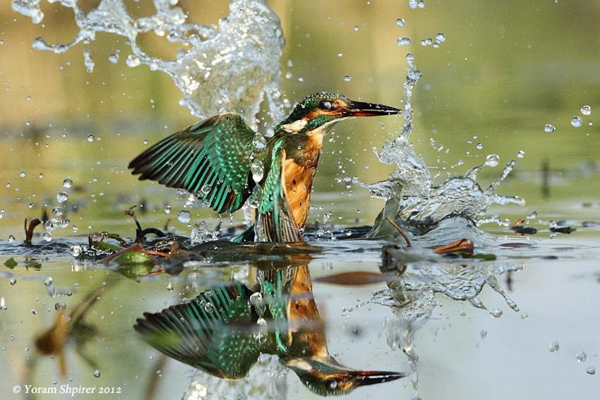 Photograph Common Kingfisher by Yoram Shpirer on 500px