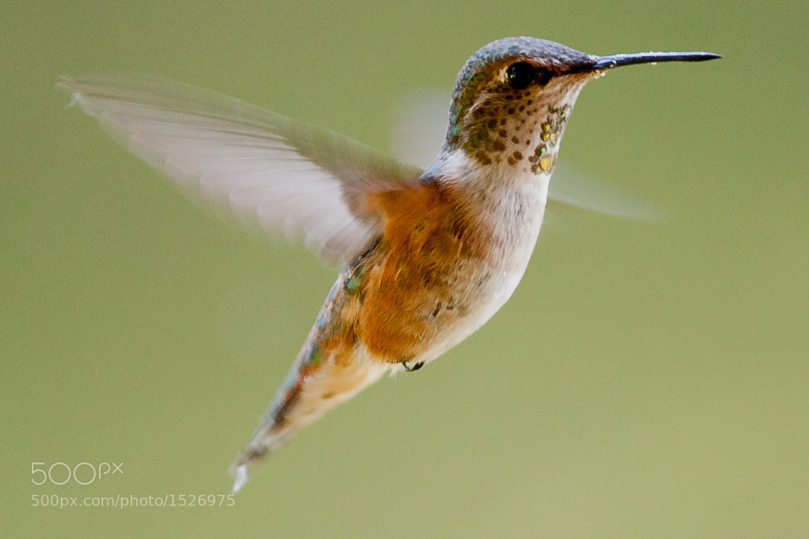 Photograph Hovering by Bill Crow on 500px