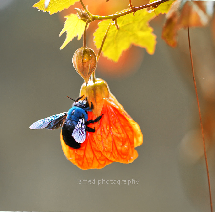 Photograph Blue Bee by Ismed Hasibuan on 500px