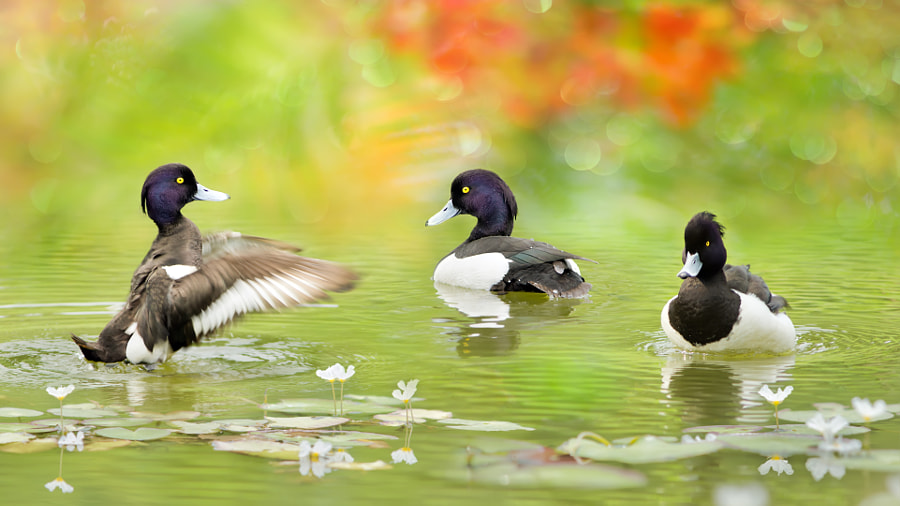 ~ Tufted Duck ~, автор — FuYi Chen на 500px.com