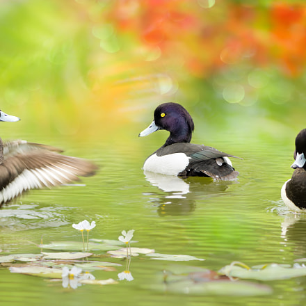 ~ Tufted Duck ~, Sony SLT-A77V