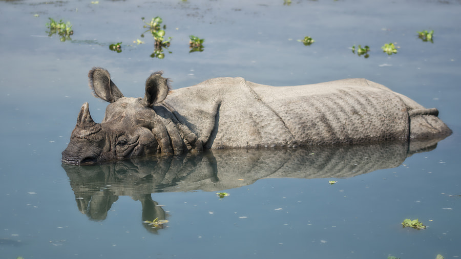 rhino bathing in the river in Chitwan National Park, Nepal by Catalin Grigoriu on 500px.com