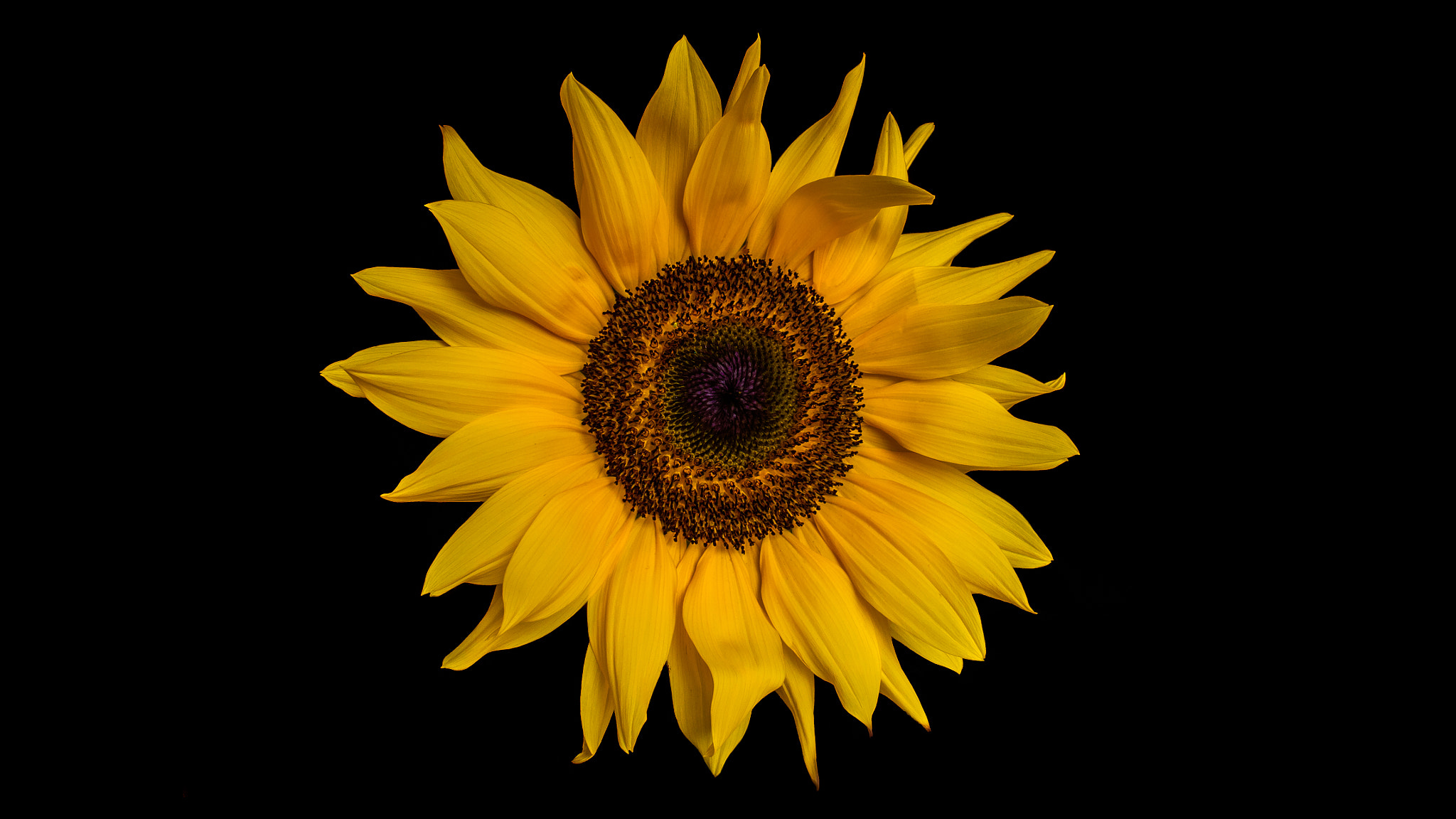 Photograph Sunflower by Philip W on 500px