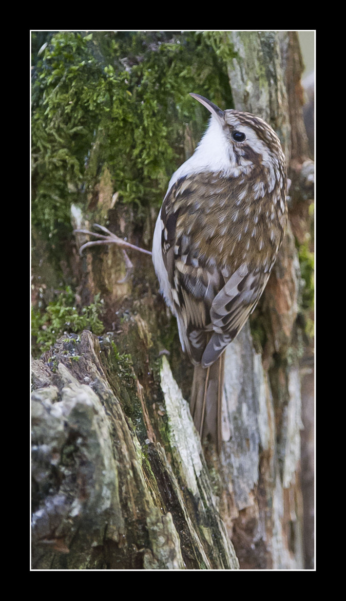 Photograph TREECREEPER by Mark Bend on 500px