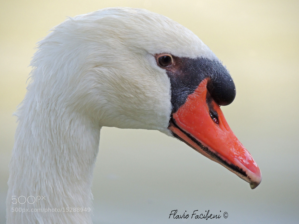 Photograph white swan by flavio facibeni on 500px