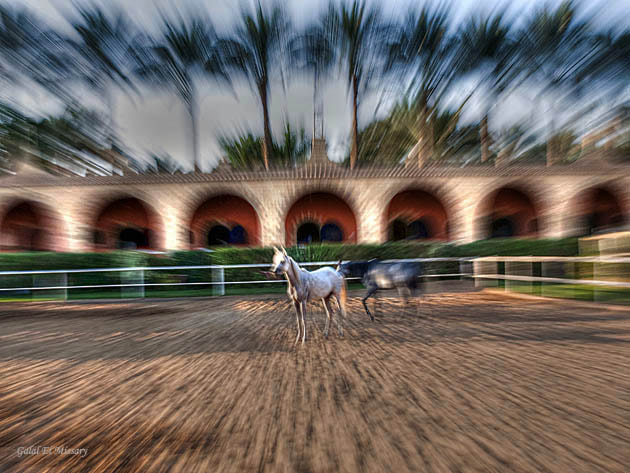 Photograph Arabic horse by Galal Elmissary  on 500px